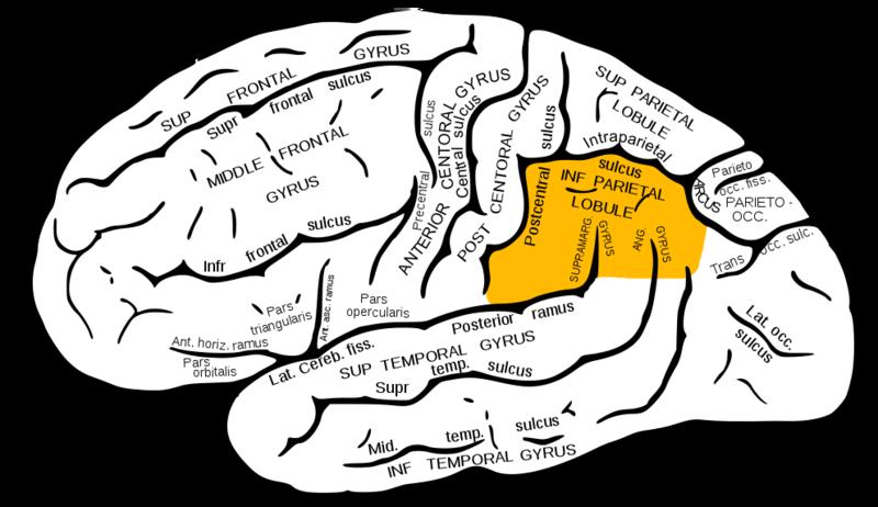 ILLUSTRATION : Lobule pariétal inférieur (Source : Wikipédia)