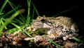 Gray treefrog (5880845706).png