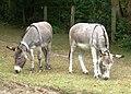 Grazing Donkeys at Burley - geograph.org.uk - 333902.jpg