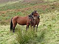 Grazing on Bryn Du, Ceredigion - geograph.org.uk - 1496736.jpg