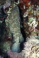 Greasy Grouper, Epinephelus tauvina at Elphinstone Reef, Red Sea, Egypt -SCUBA (6325516119).jpg