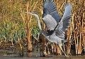 Great Blue Heron on Seedskadee National Wildlife Refuge (25774665726).jpg