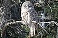 Great Grey Owl - Flickr - GregTheBusker.jpg
