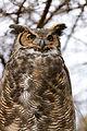 Great Horned Owl in Tree (8564882463).jpg