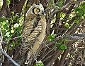 Great horned owl owlet on Seedskadee National Wildlife Refuge (34649835150).jpg