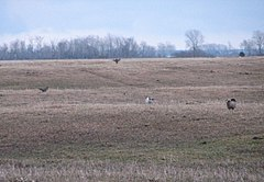 Greater Prairie Chickens, Buena Vista Marsh.jpeg