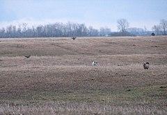 Greater Prairie Chickens, Buena Vista Marsh.jpeg