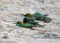 Green Bee-eaters (Merops orientalis) at Sindhrot near Vadodara, Gujrat Pix 254.jpg