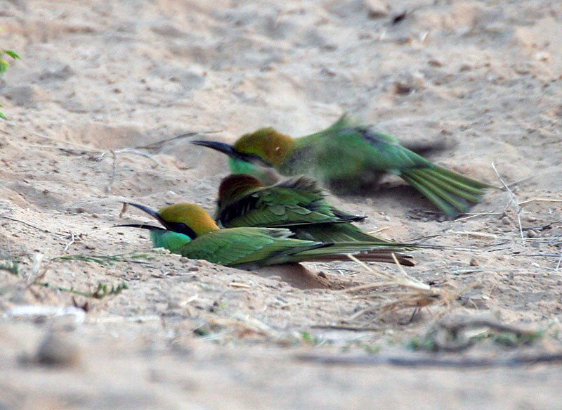 Green Bee-eaters (Merops orientalis) at Sindhrot near Vadodara, Gujrat Pix 254