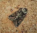 Green Brindled crescent . Allophyes oxyacanthae (49322476983).jpg