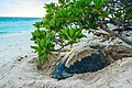 Green Sea Turtle nesting at sunrise.jpg