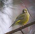 Greenfinch (31964384270).jpg