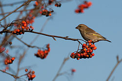 Greenfinch Lodz(Poland)(js)10.jpg