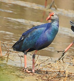 Grey-headed swamphen (Porphyrio poliocephalus) 3.jpg