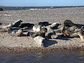 Grey seals at Blakeney Point - geograph.org.uk - 80654.jpg