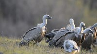 File:Griffon Vultures feeding and fighting.webm