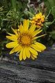 Grindelia integrifolia 6188.JPG