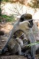 Grivet Monkeys, Ethiopia (14087850854).jpg