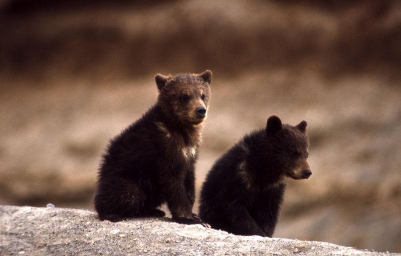 Cachorros de oso grizzly