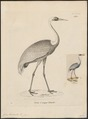 Grus vipio - 1700-1880 - Print - Iconographia Zoologica - Special Collections University of Amsterdam - UBA01 IZ17300083.tif