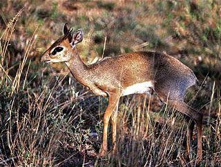 Günthers dik-dik species of mammal