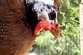 Guinea fowl eye.jpg