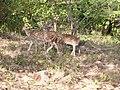 Gujarat.in Sasan Gir - panoramio - SINHA.jpg