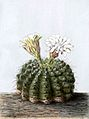 Gymnocalycium quehlianum BlKakteenT105.jpg
