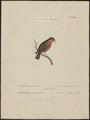 Gyrinorhynchus minutus - 1700-1880 - Print - Iconographia Zoologica - Special Collections University of Amsterdam - UBA01 IZ16000161.tif