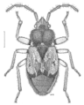HEMI Lygaeidae Truncala hirsuta.png