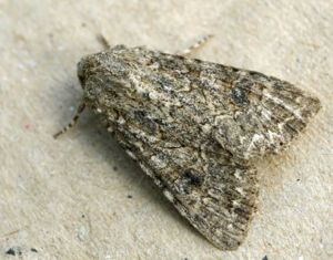 Nutmeg (moth) - Image: Hadula trifolii 01