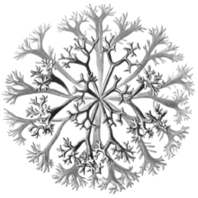 Chondrus crispus - Wikipedia