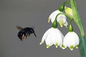 Leucojum - Flowers of Leucojum aestivum with female hairy-footed flower bee (Anthophora plumipes)