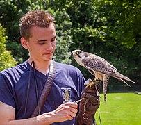 Halcón sacre (Falco cherrug), Tierpark Hellabrunn, Múnich, Alemania, 2012-06-17, DD 02.jpg