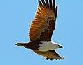Haliastur indus -Karratha, Pilbara, Western Australia, Australia -flying-8 (3).jpg
