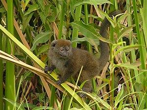 Lac Alaotra bamboo lemur - Image: Hapalemur alaotrensis JJLM