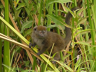 Lac Alaotra bamboo lemur species of mammal