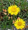 Haplopappus chrysanthemifolius (8475728105).jpg