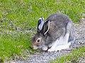 Hare Hare (20300967221).jpg