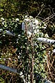 Hawthorn on roadside fence, Good Easter, England.jpg