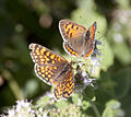 Heath Fritillary and Copper Butterflies (3838109206).jpg