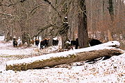Heck cattle group island of Wörth.JPG