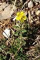 Helianthemum nummularium inflorescence (02).jpg
