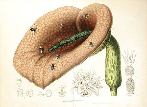 Helicodiceros - Image: Helicodiceros muscivorus 00