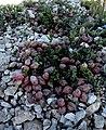 Heliotrope milkvetch (Astragalus montii) (6306892665).jpg