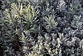 Hellblauer Polster-Lavendel Blue Cushion (Lavandula angustifolia) Blumengärten Hirschstetten Wien 2014 a.jpg
