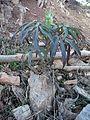Helleborus foetidus - Sierra Nevada - Espagne 2.JPG