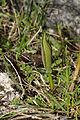 Helleborus odorus s.lat. (3).JPG