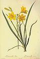 Hemerocallis lilioasphodelus in Les liliacees.jpg