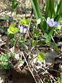 Hepatica nobilis sl7.jpg